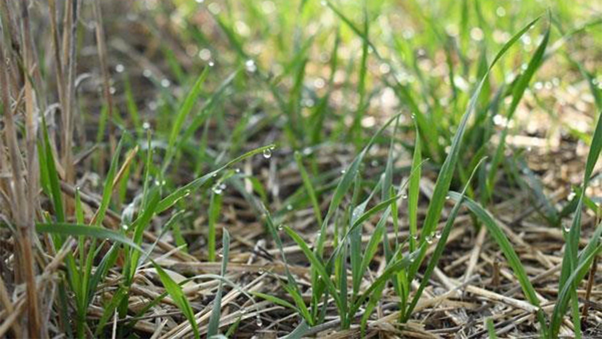 Wheat streak mosaic virus